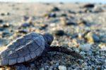 Brancaleone, nido di tartarughe marine sulla spiaggia deserta