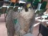 Falco pellegrino in difficoltà e denutrito salvato a Crotone