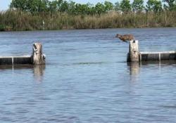 Il salto in lungo (spettacolare) della lince rossa Questi animali riescono a fare dei balzi esagerati, come documenta questo video amatoriale - CorriereTV