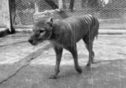 Il video mai visto dell'ultima tigre della Tasmania girato nel 1935 Il tilacino, noto anche come lupo della Tasmania, è estinto da oltre un secolo: il video dell'ultimo esemplare che fu rinchiuso in uno zoo - Corriere Tv