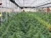 Vivaio di cannabis a Sellia Marina, scoperta serra con 10 mila piante: un arresto - Video