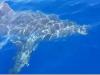 Lampedusa, avvistato uno squalo bianco di circa 5 metri: il video