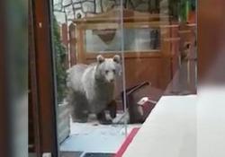 Trentino: l'orso affamato «visita» il ristorante La scena in pieno giorno davanti alla Tana dell'Ermellino tra Cavedago e Andalo - CorriereTV
