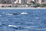 Dalla Calabria a Messina, la balenottera senza coda appare nello Stretto