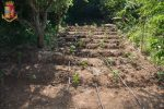 Coltivavano cannabis in un terreno di Vibo, due arresti: sequestrate 100 piante