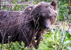 Abruzzo, durante l'escursione arriva a sorpresa un orso: ecco cosa succede La guida riprende l'animale da pochi metri di distanza - Ansa