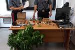 San Demetrio Corone, nascondono marijuana in casa e in una serra: 4 arresti