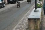 Monterosso Calabro, due cinghiali si aggirano nelle vie del centro