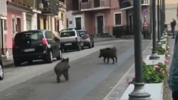 cinghiali, Catanzaro, Calabria, Cronaca