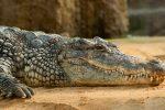 Un tempo i coccodrilli si spostavano su due zampe e correvano come struzzi