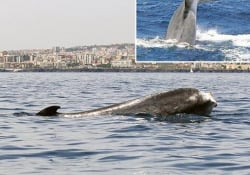 Codamozza, la balena mutilata del Mediterraneo Allo stremo delle forze - Corriere Tv