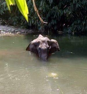 Succede in India, elefantessa muore dopo aver mangiato un ananas pieno di petardi