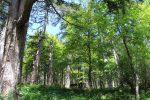 Boschi silani, Molinaro (Lega): lotta obbligatoria contro la processionaria del pino