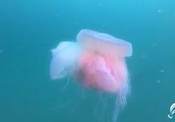 La più grande e rara medusa del Mediterraneo avvistata a Trieste Si tratta della Drymonema dalmatinum con un diametro di circa 50 centimetri - Corriere Tv