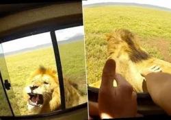 Non stuzzicare il leone che riposa: il turista rischia il braccio per un selfie Il gesto stupido di due turisti nel Serengeti National Park della Tanzania - CorriereTV