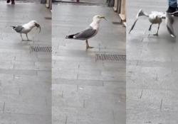 Roma: il gabbiano divora il grosso topo in un sol boccone Il volatile banchetta con un ratto fra i passanti in centro - CorriereTV