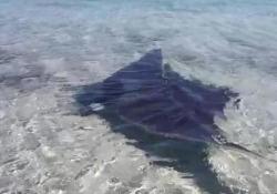 Stintino, manta mediterranea di 2 metri si avvicina alla riva e nuota tra i bagnanti Un grosso esemplare di Manta Mediterranea, nota anche come Mobula o come Diavolo di Mare, con un'apertura di circa due metri - Ansa