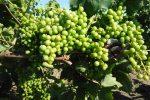 """Viticoltura, via alla """"vendemmia verde"""" anche in Sicilia"""