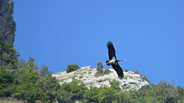 Scoperta al Parco del Pollino, avvistata per la prima volta una coppia di cicogna nera