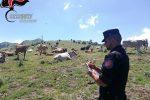 Controlli sul Parco del Pollino, tre allevamenti di bovini multati ad Alessandria del Carretto