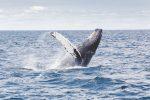 Fiumicino, esemplare di balena grigia avvistata sulla costa