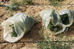 Piantagione di canapa indiana fra le campagne di Stilo, c'erano più di cento piante
