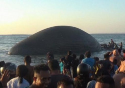 Indonesia, trovata morta una balenottera azzurra di 23 metri: si è arenata sulla battigia Non si conoscono ancora le cause della morte - Ansa
