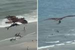 L'aquila cattura un pesce enorme e sorvola la spiaggia: il video è spettacolare