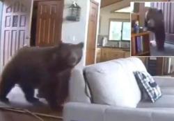 L'orso bruno butta giù la porta ed entra nel soggiorno di casa Il filmato della videosorveglianza di un'abitazione negli Usa - CorriereTV