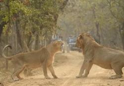 La feroce disputa tra un leone femmina e un leone maschio I leoni asiatici maschi vivono lontano dalle femmine e si avvicinano a loro solo per accoppiarsi - CorriereTV