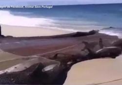 Portogallo, le immagini strazianti dei delfini impigliati nelle reti dei pescatori e trascinati a riva La denuncia in un video di «Animal Save Portugal» - Ansa
