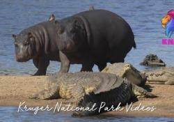 Questi giovani ippopotami non hanno nessuna paura dei coccodrilli La scena girata nel parco nazionale Kruger, in Sudafrica - CorriereTV