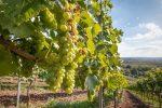 Vendemmia verde in Calabria, mezzo milione di euro contro la crisi della pandemia