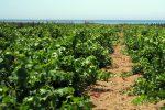 Vendemmia verde, via libera in Calabria: coinvolte 46 aziende