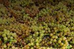 Un marchio per promuovere le uve zibibbo di Bagnara Calabra