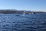 Lo spettacolo dei capodogli nelle acque dello Stretto di Messina: il video dell'avvistamento