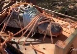 Catturato in Australia enorme coccodrillo da record E' lungo 4 metri e mezzo e pesa 350 chili - LaPresse/AP