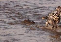 La zebra attaccata dal coccodrillo, ma il finale è un colpo di scena Il coccodrillo tiene una sua zampa stretta tra le fauci - CorriereTV