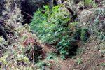 Vallelonga, scoperta una coltivazione con 50 piante di marijuana