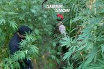Scoperte altre due piantagioni di canapa a Tiriolo, estirpate oltre 200 piante
