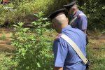 Piantagione di marijuana nascosta fra i rovi dell'Aspromonte, due arresti a Melicucco