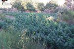 Coltivazioni di marijuana scoperte a Gioiosa Jonica: rinvenute e distrutte 2 mila piante - Video