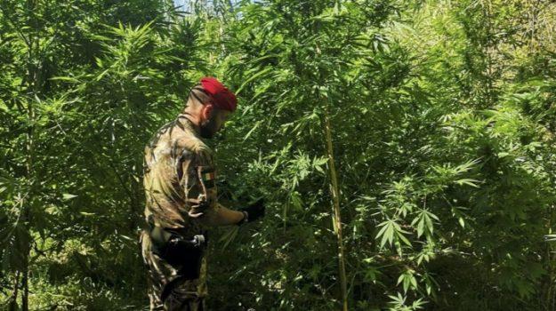 droga, grotteria, mammola, marijuana, placanica, Reggio, Calabria, Cronaca