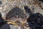 """Spiaggiata sul litorale di Motta D'Affermo una tartaruga marina """"Caretta caretta"""""""