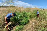 Isola di Capo Rizzuto, trovata una piantagione di marijuana e due detonatori: due arresti