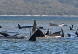 Australia, centinaia di balene spiaggiate in Tasmania: bloccate su banchi di sabbia si sono incagliate su banchi di sabbia - Ansa