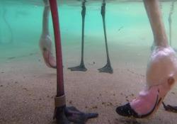 Come mangiano i fenicotteri? Il video è sott'acqua Il filmato pubblicato dallo zoo di San Diego - CorriereTV
