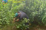 Droga tra Curinga, Lamezia e Maida: sequestrate 2500 piante di canapa indiana