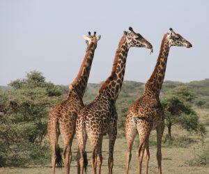 """Le """"corna"""" sulla testa della giraffa sono parafulmini letali"""