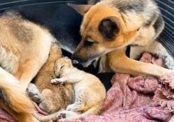 Il pastore tedesco che ha adottato due leoncini Le dolcissime immagini da un parco in Russia - CorriereTV
